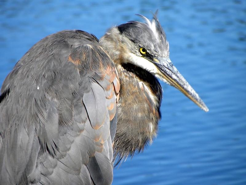 Stanley Park - Heron