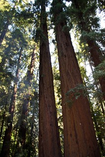 Redwood Majesty | by MizzD
