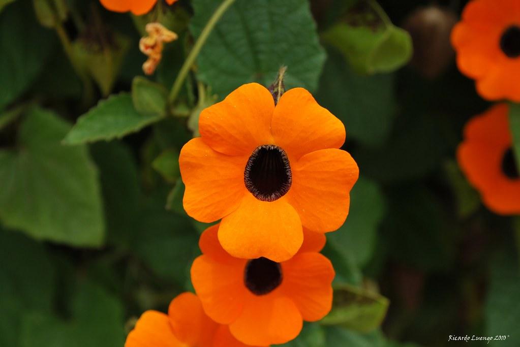 Back Up Camera >> Flores naranjas | Flores anaranjadas pero no de naranjas. | Ricardo Luengo | Flickr