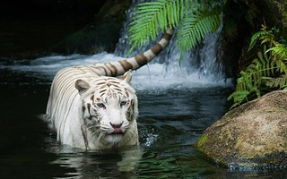 The white tiger | by sheilapic76