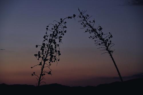 sunset arizona yucca sonoitaelgin