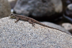 What kind of lizard ...