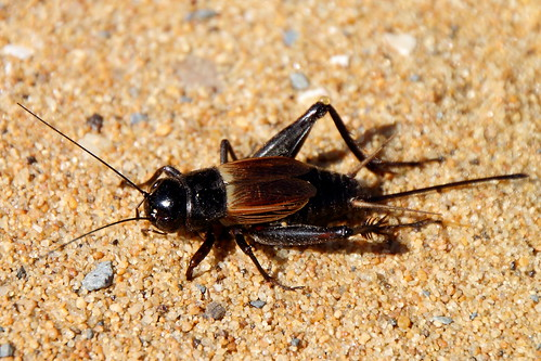 Field Cricket at Sandy Point | by Mr.TinDC