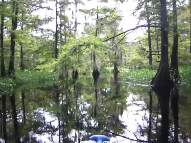 070 Video of cypress trees and Spanish Moss on Fisheating Creek