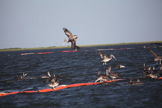 Brown pelican feeding frenzy