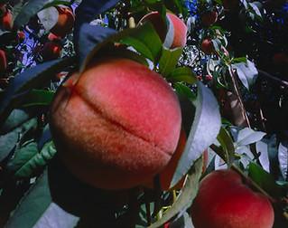 Pinhole Image - Peaches - 02 | by CJPolitzki