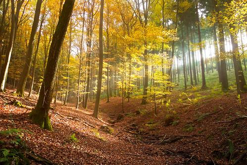 autumn trees fall leaves forest germany geotagged licht laub herbst 1750 wald bäume baum deu rheinlandpfalz magicforest 50d zauberwald tamron1750 canoneos50d steinebachsieg biesenstück geo:lat=5073659500 geo:lon=783483667