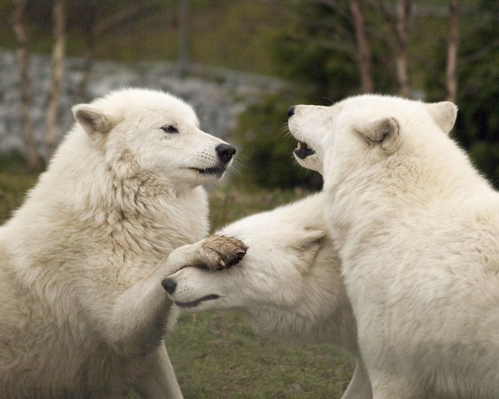 Playful Arctic Wolves