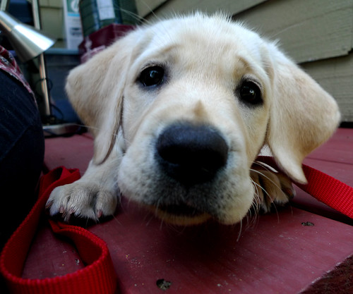 dog eye fall college puppy lumix lab labrador hampshire seeing retreiver vicky hbppix lx3 doublyniceshot mygearandmepremium mygearandmebronze mygearandmesilver mygearandmegold