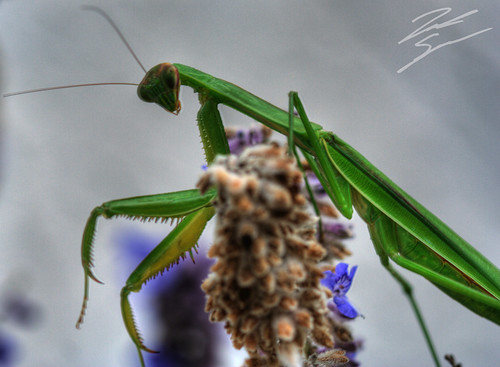 flower macro zach canon bug mantis insect rebel bokeh praying hdr spradlin xti