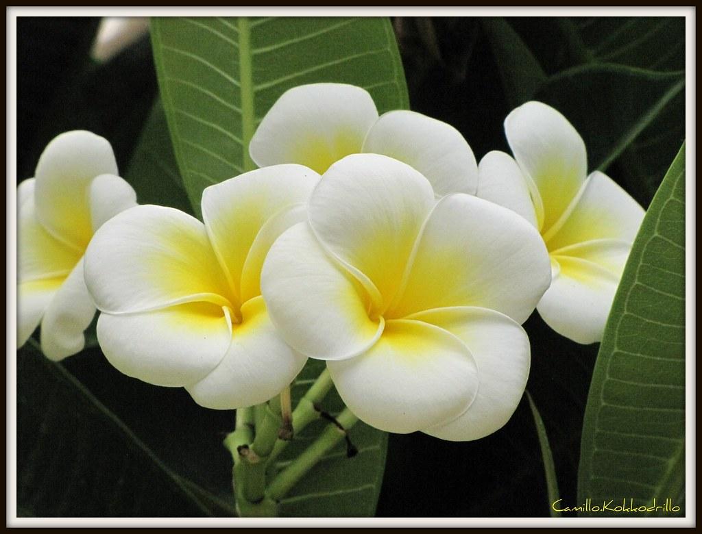 Fiori Gialli Tondi.Fiore Giallo Plumeria Rubra Palermitana A Fiore Tondo Flickr