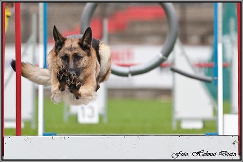 Deutsche Schäferhunde - SV BSP/Agility Meppen 2010 | by dietz_helmut