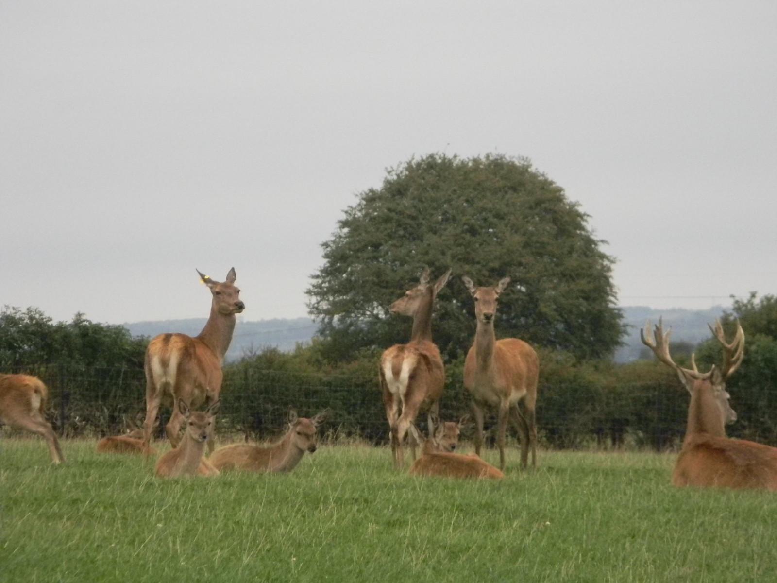 Deer Captive deer. Saunderton Circular via Bledow