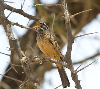 Cinnamon-breasted Bunting male | by Johannes D. Mayer