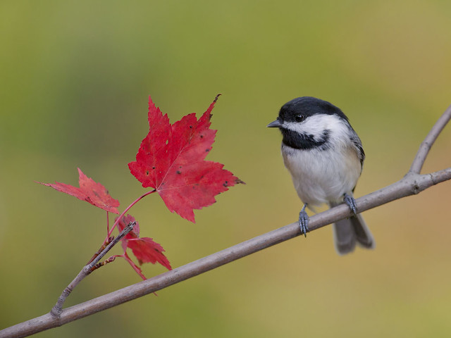 Maple Leaf Chickadee