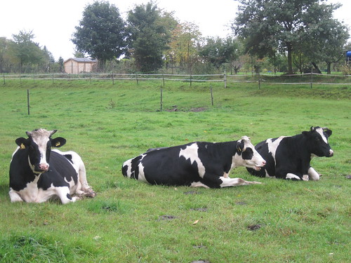 German cows are lazy | by Wayan Vota