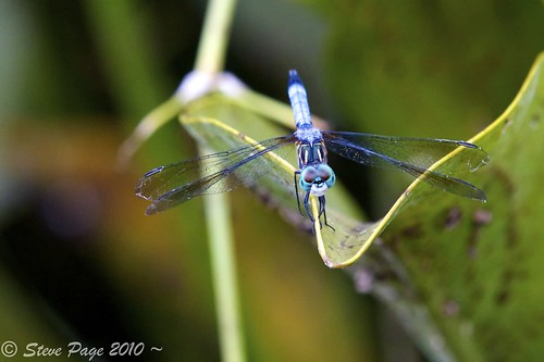 canon eos dragonfly bokeh stevepage itail stephenpage canon7d 100commentgroup pagephotos canonef70200mmf28lisiiusm
