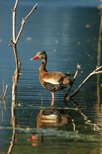 Black-bellied Whistling Duck | by Ketzirah & Art
