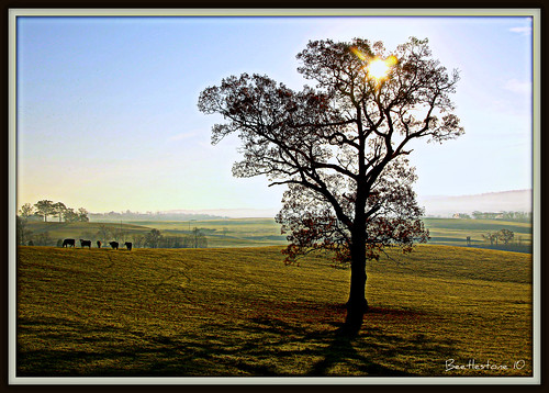 morning autumn mountain tree fall field cows wv pasture