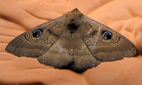 BOGONG MOTH (Agrotis infusa) | Resting in my garage | Fred Neal ...