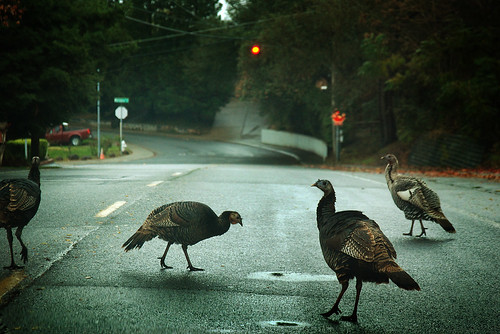 Turkeys in the Road | by Photo Cindy