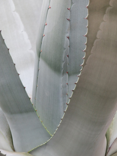Agave Cactus at Hortus Botanical Garden in Amsterdam