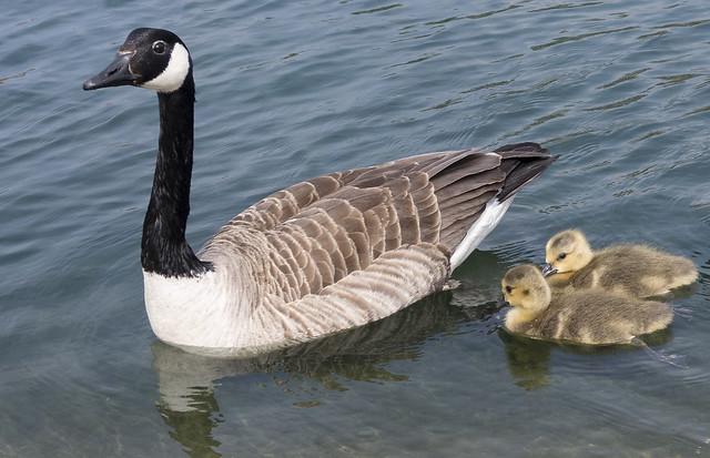Canada goose family, Fairhaven Lake, Lytham St. Annes, Fylde, Lancashire, UK