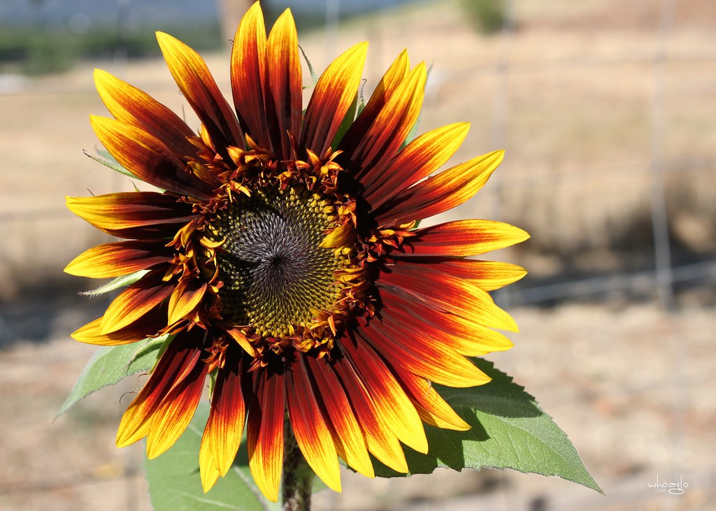 sunflower 'The Joker' 5
