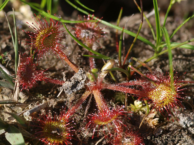 Drosera rotundifolia - Rocío de Sol