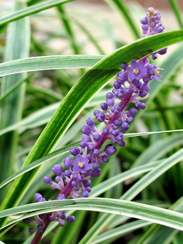 Liriope Muscari | by David Hoffman '41