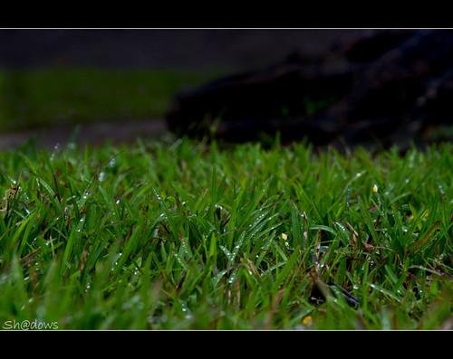 green grass rain canon is drops shadows kerala monsoon 7d raindrops l raining ef f4 thrissur greengrass shdows sarin 24105mm ef24105mmf4isl rainshot sarinsoman keralarain thekkinkaadu canon7d vadakumnathan nizhal