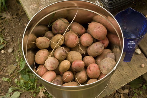Humble Garden 2010: potato harvest | by nikaboyce