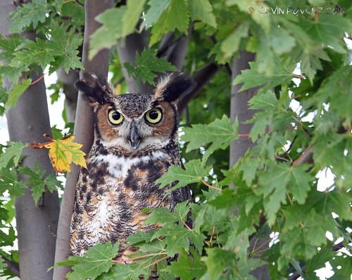 holland bird nature america outdoor michigan owl birdsofprey odc westmichigan outdoordiscoverycenter canont1i