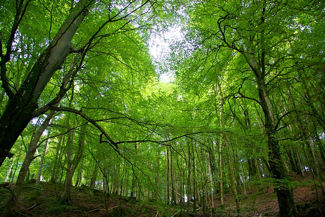 Beech trees in Ravensdale Forest Park, Co. Louth