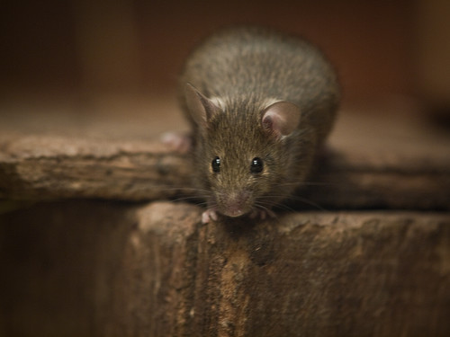 House Mouse on box | by Kentish Plumber