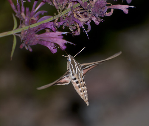 nikon colorado hummingbird hawk moth coloradosprings hyleslineata d300 agastache hummingbirdmint whitelinedsphinx afsvrzoomnikkor70300mmf4556gifed agastachedesertsunrise hybridhummingbirdmint darinziegler