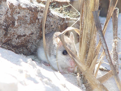 Endangered Alabama beach mouse (Peromyscus polionotus ammobates) | by USFWS Endangered Species