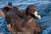 White-chinned Petrel by SillyOldBugger (in and out of internet range)