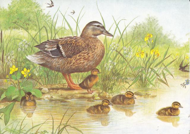 Mallard & Ducklings Painting Postcard