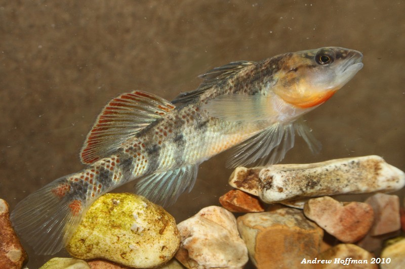 Etheostoma spectabile (Orangethroat Darter)   Breeding Male …   Flickr