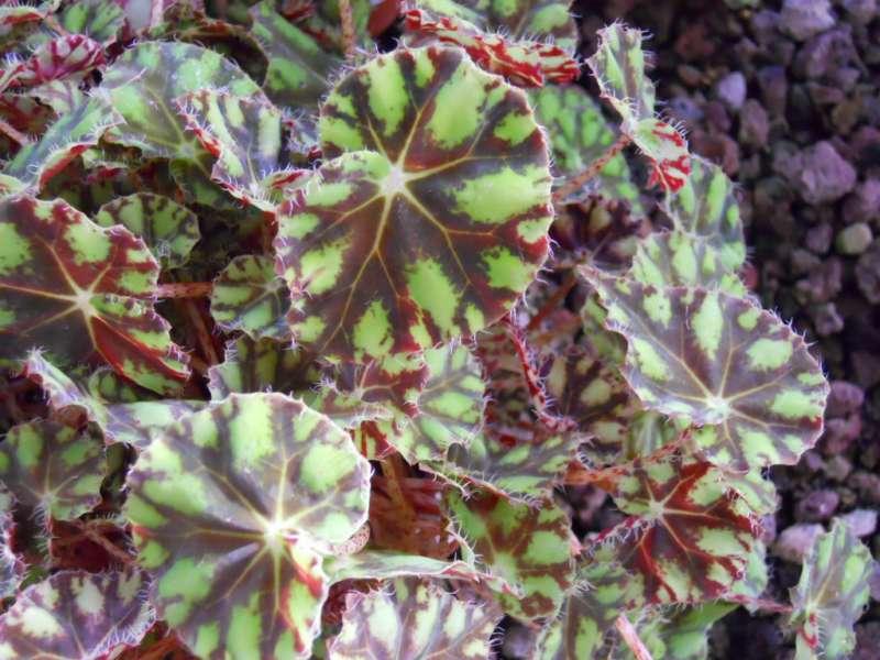 Begonia tiger 2