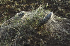 Enormous spider web, Swaziland