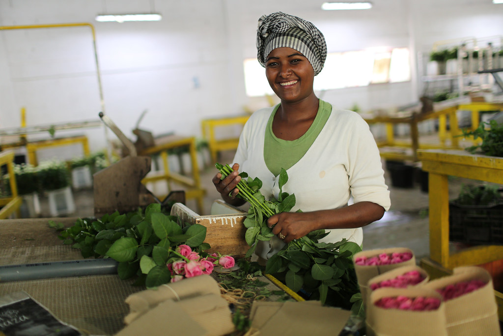 Woman packaging roses at AQ Roses PLC farm near Ziway, Eth