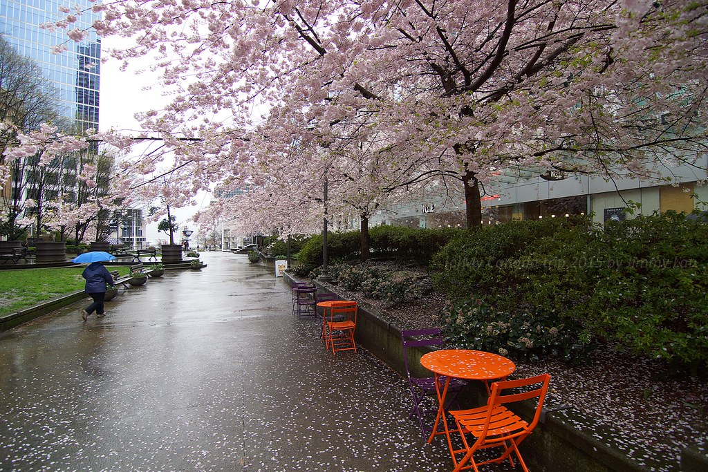 Image result for RAINY DAY PICTURES, CHERRY blossoms