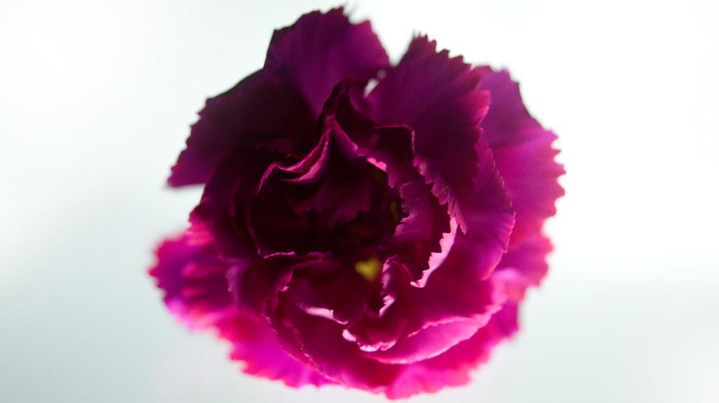 pink carnation lit
