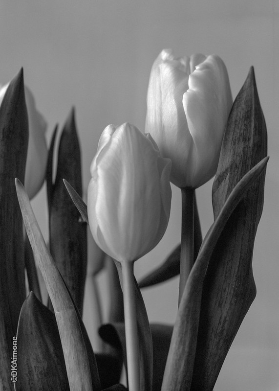Winter Tulips #1