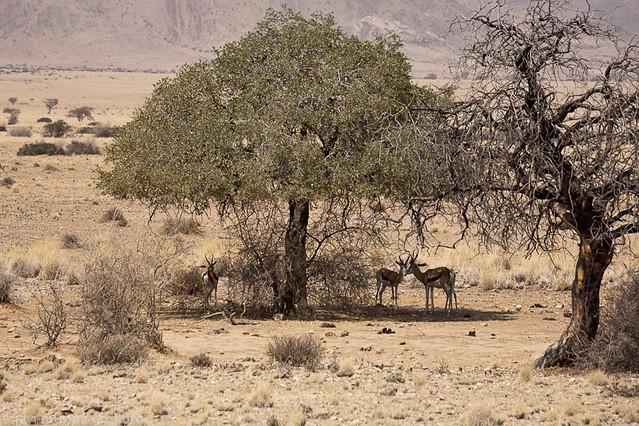 Animales avistados: Springboks