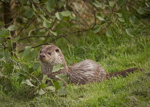 Otter (Lutra lutra) | by Kentish Plumber