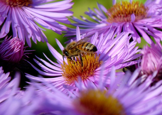 A Total Bee's Aster