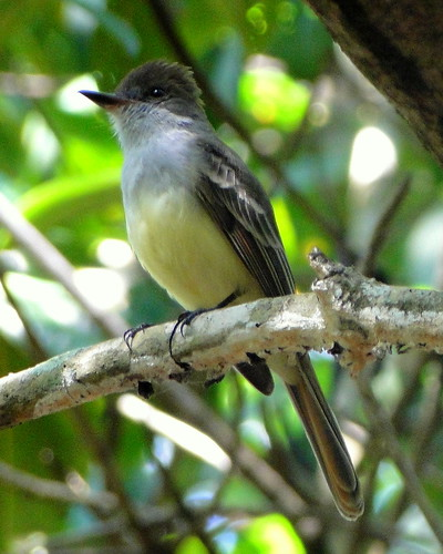Atrapamoscas garrochero colirrufo [Brown-crested Flycatcher] (Myiarchus tyrannulus tyrannulus) | by barloventomagico